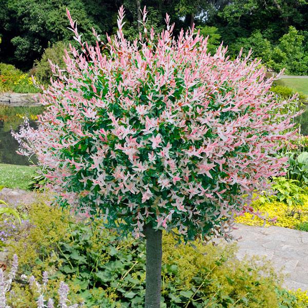 Bomen voor kleine tuin - Hakuro Nishiki