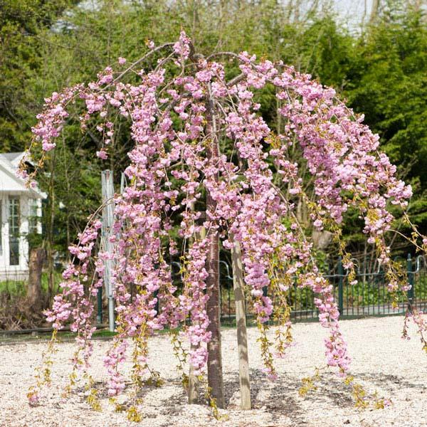 Bomen voor kleine tuin - Prunus Kiku-shidare-zakura - Bron: Primrose.co.uk