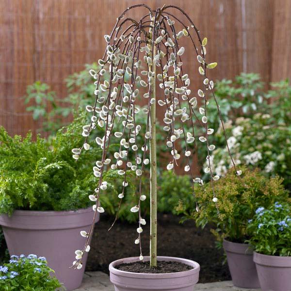 Bomen voor kleine tuin - Treurkatjeswilg - Bron: Gardenersdream.co.uk