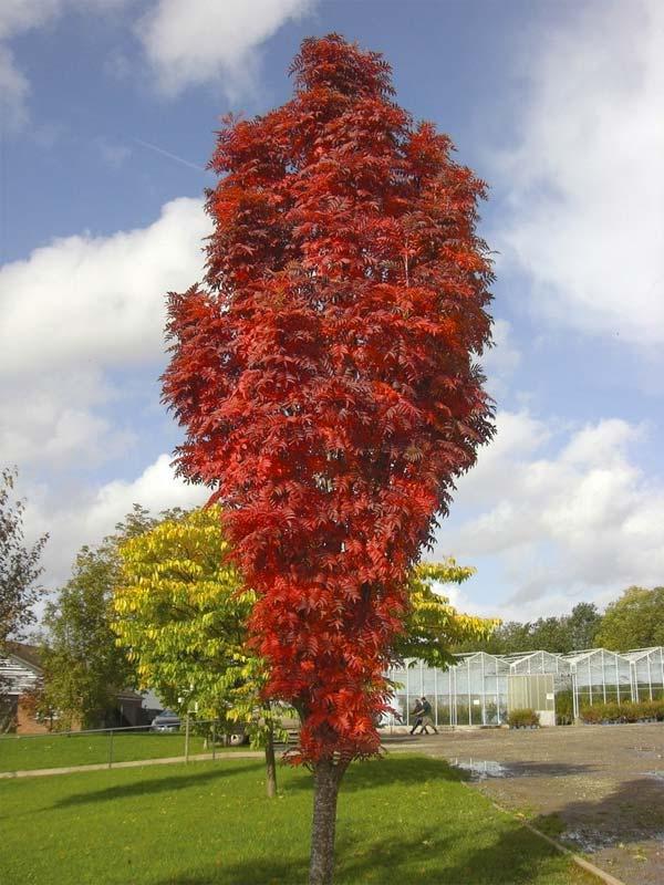 Bomen voor kleine tuin - Lijsterbes - Bron: Gardenersdream.co.uk