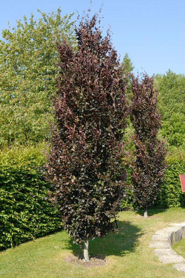 Bomen voor kleine tuin - Treurkatjeswilg