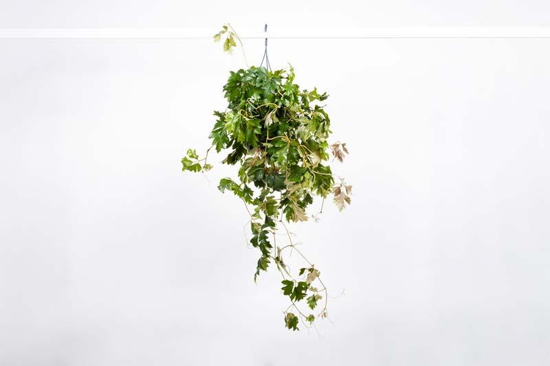hangplanten Koningswingerd