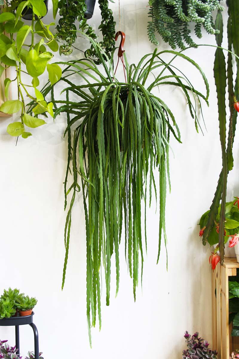hangplanten Lepismium Bolivianum
