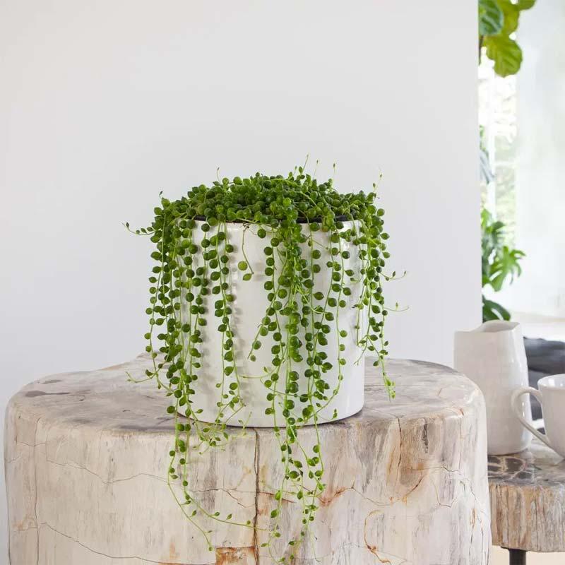 hangplanten erwtenplant