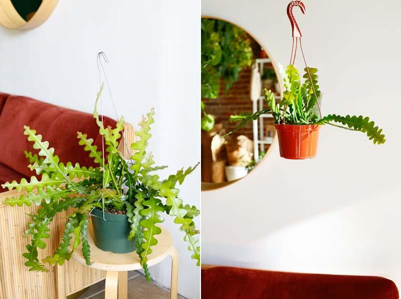 hangplanten zaagcactus