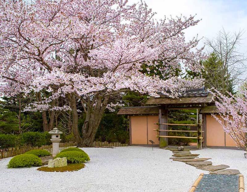 japanse tuin bloesem