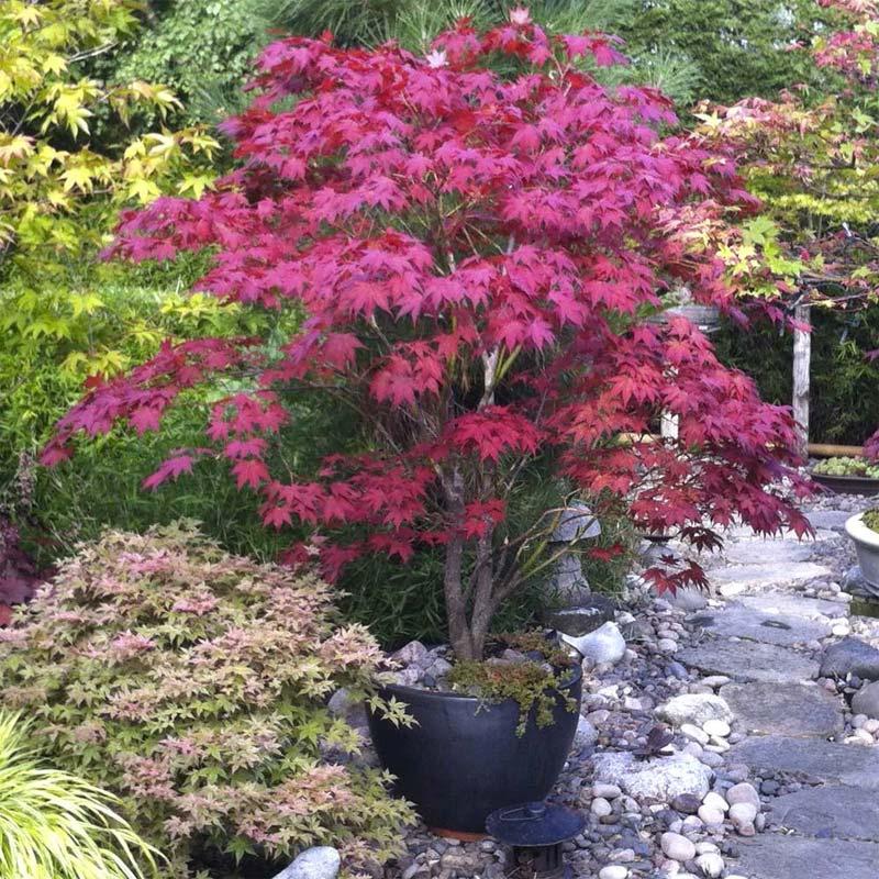japanse tuin planten herfst