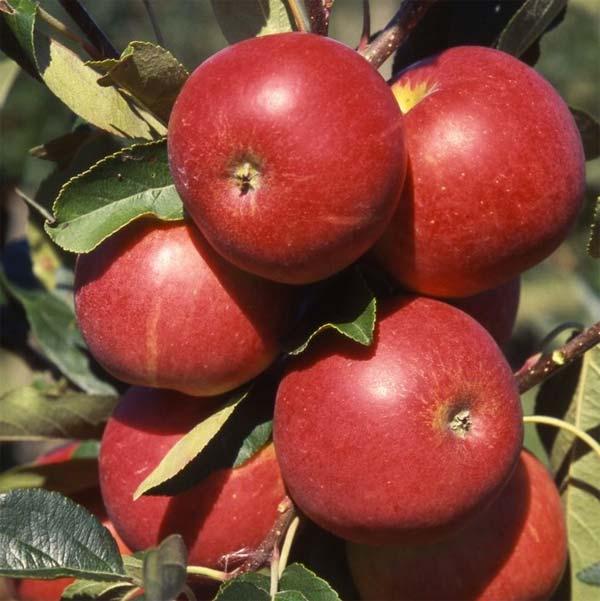 Bomen voor kleine tuin - Appelboom - Bron: Primrose.co.uk