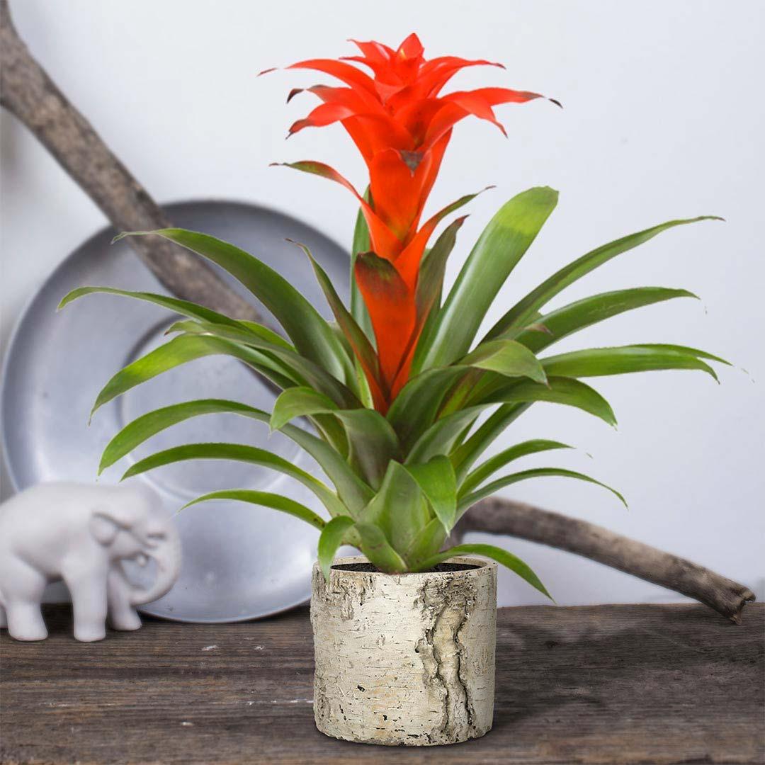 niet giftige planten katten honden Bromelia