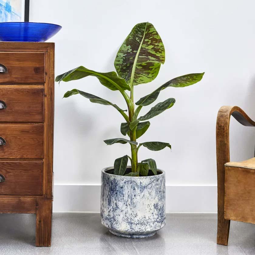 niet giftige planten katten honden bananenplant