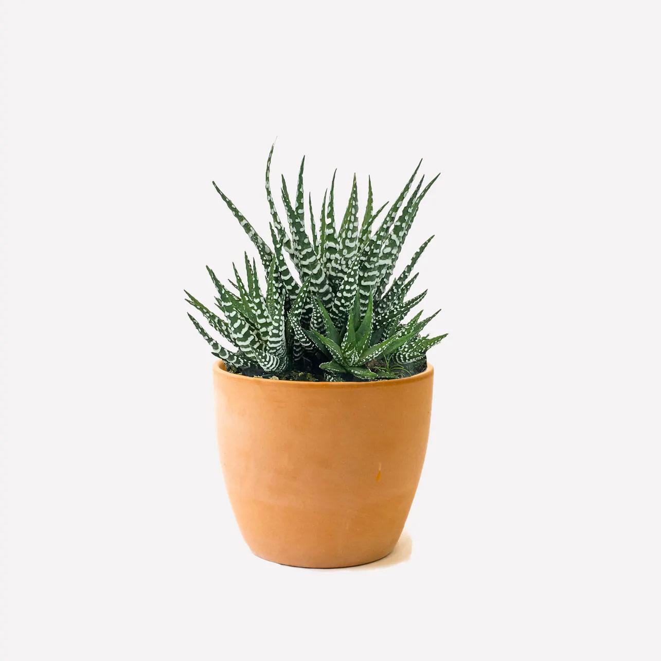 niet giftige planten katten honden zebracactus
