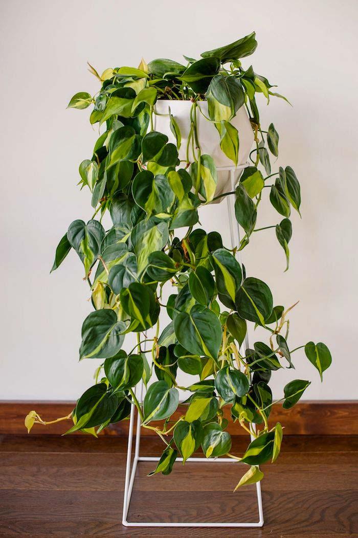 hangplanten philendron scandens