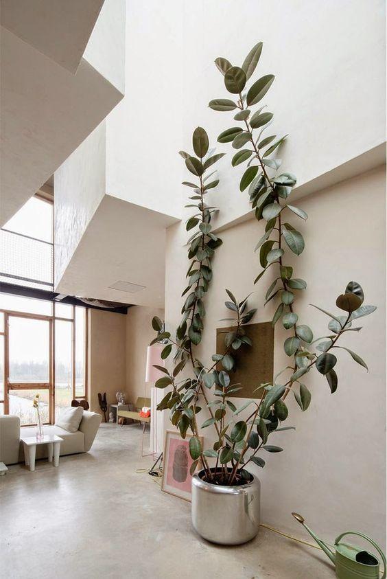 rubberplant-ficus-elastica-2