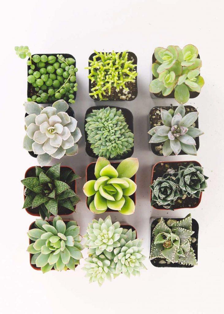 soorten vetplanten