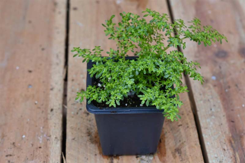 terrarium plantjes Pilea Microphylla