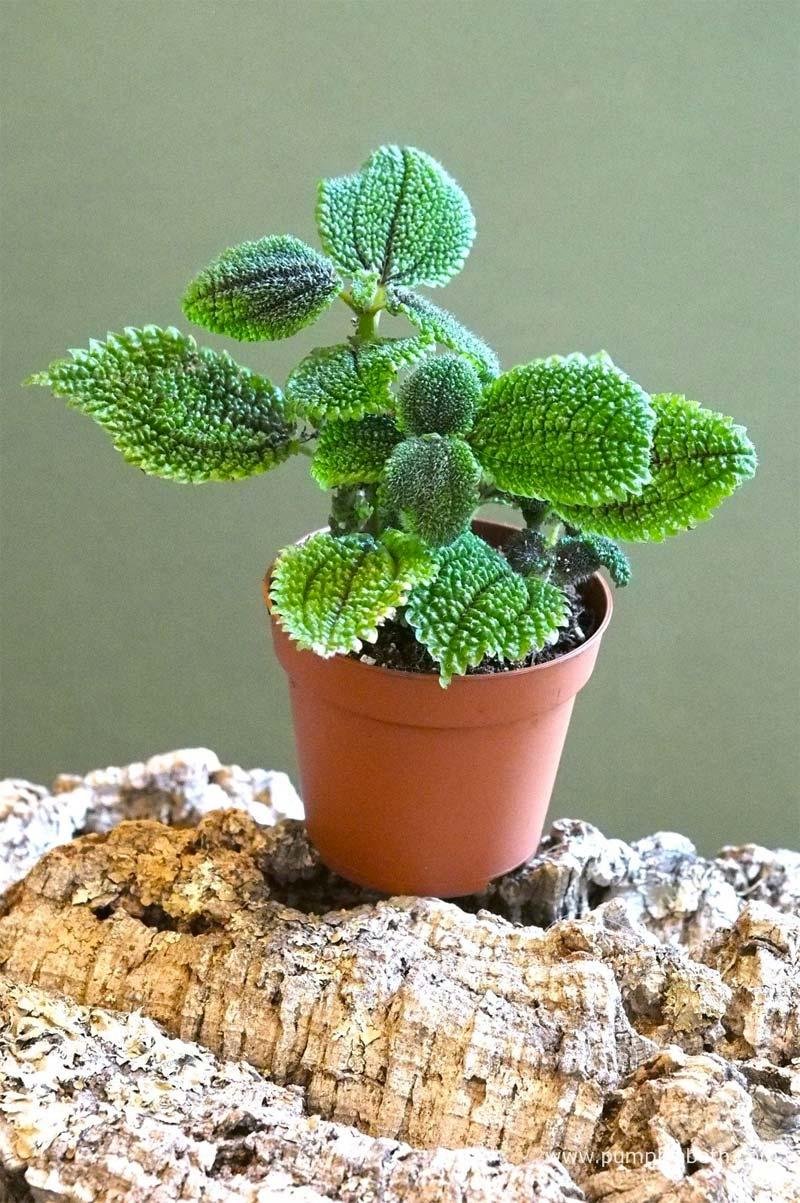 terrarium plantjes Pilea involucrata