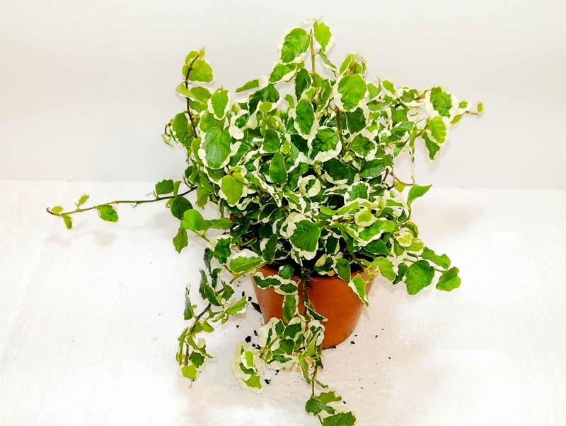 terrarium plantjes klimvijg