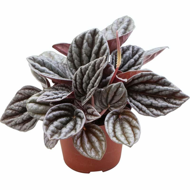 terrarium plantjes rattenstaart
