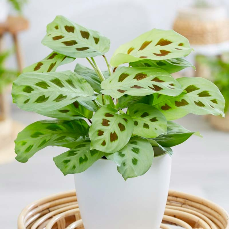 terrarium plantjes tiengebodenplant