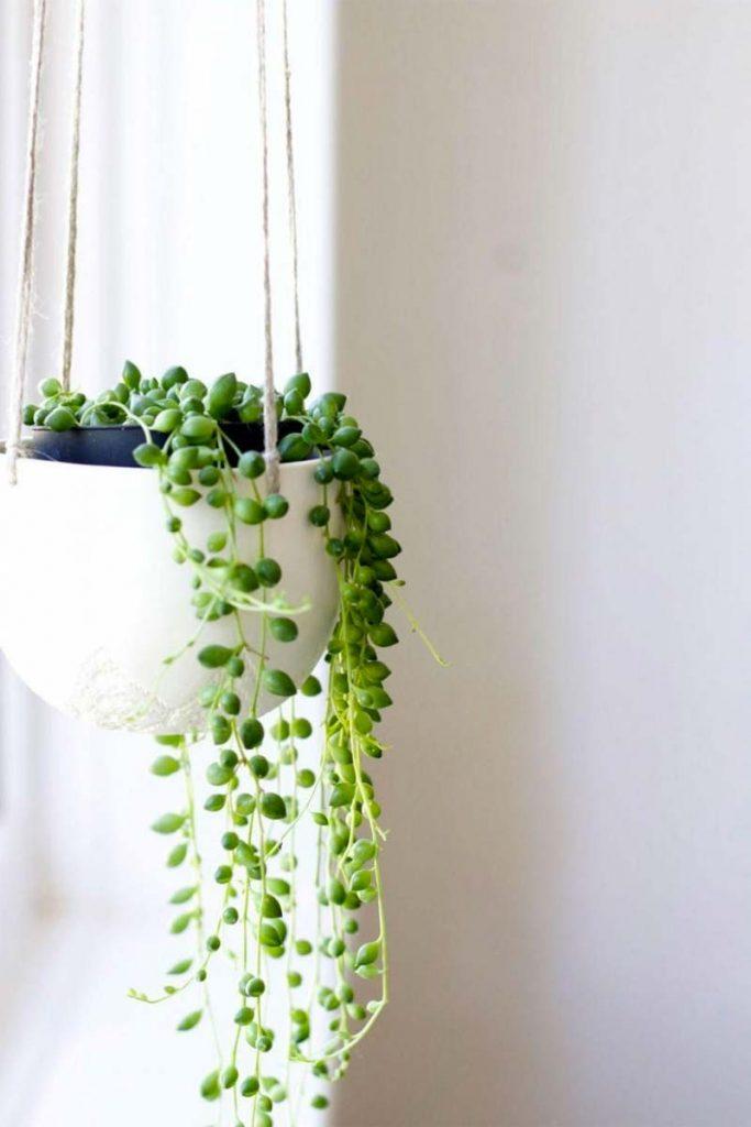vetplanten erwtenplant