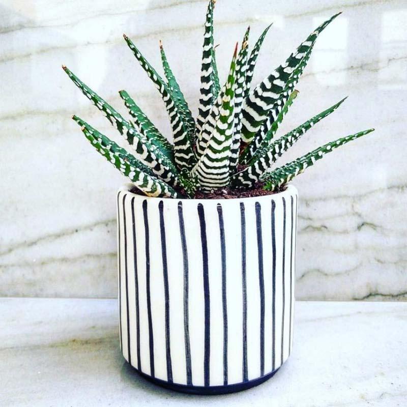 vetplanten zebraplant